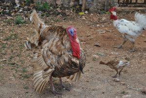 Im Dorf sieht man viele freilaufende Haus- und Nutztiere. Viele Menschen besitzen Hühner oder Schweine. Erschreckend ist der Anblick vieler kranker und halbverhungerter Hunde.